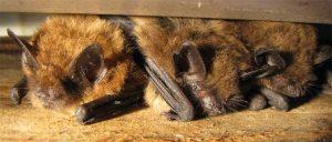 Bat Removal 1