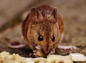 Mice Removal 2