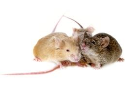 Mice Removal 1