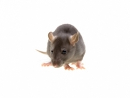 Norway Rats 1