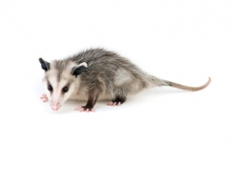 Opossums 1