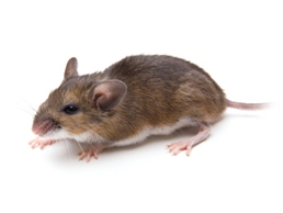 Rodents 1