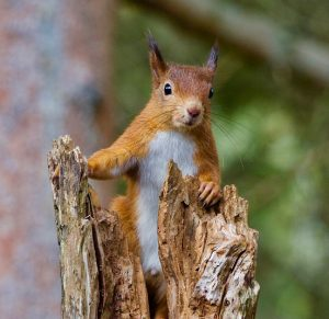 A red squirrel in Boston